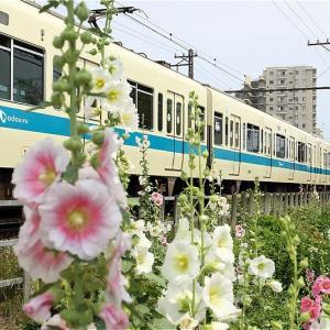 久々に花咲く線路端へ(小田急電鉄)