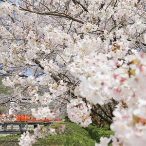 満開、春のベール(小田急電鉄)