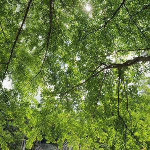 万緑の陰から(箱根登山鉄道)
