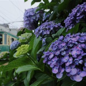 道端の紫陽花と(江ノ島電鉄)
