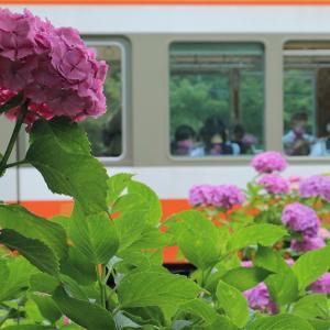 2年ぶりの紫陽花登山電車(箱根登山鉄道)