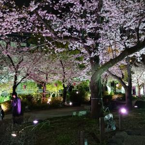桜満開(2)!!