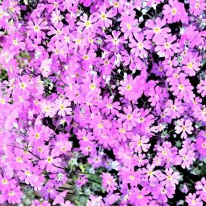 2021小庭の春  花と巣立ち 2021-04-DD