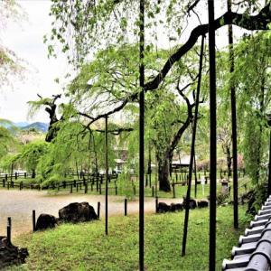 2021春・花ウォーク-10 葉桜 青雲寺の枝垂れ 2021-04-16