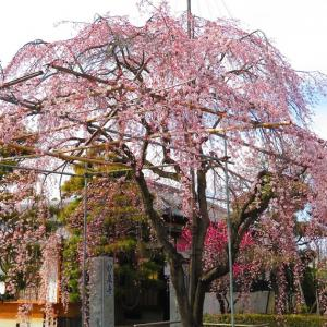 妙泉寺のしだれ桜「中央市2017」