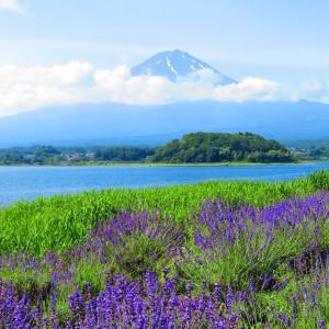 【河口湖】大石公園から望む富士とラベンダーの絶景