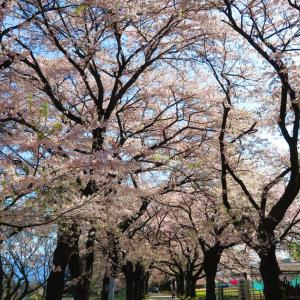 真原桜並木(さねはらさくらなみき)