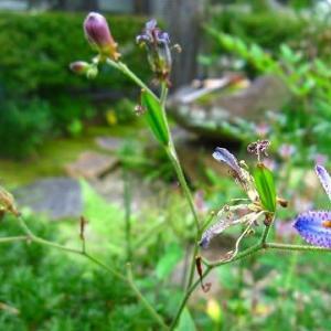 10月の庭・ホトトギスとツワブキ
