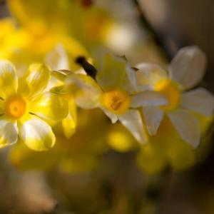 沈丁花まだ咲いていました!