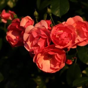 薔薇の花、見頃を迎えています!
