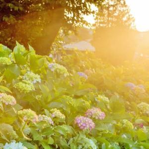 夕刻のお散歩 紫陽花