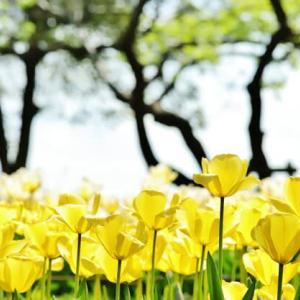 黄色いチューリップ 国営昭和記念公園