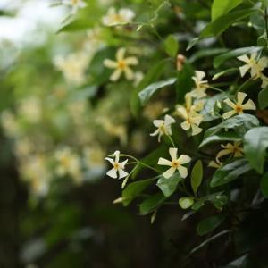 テイカズラ咲いています