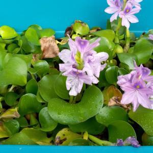 ホテイアオイが花盛り