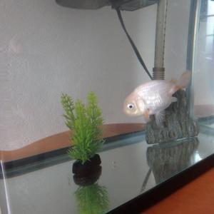 不注意で金魚が1匹になってしまいました