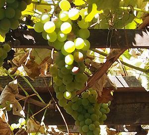 今年も!ブドウ棚の収穫の季節