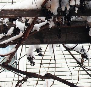 ブドウ棚の干しぶどうが鳥のエサに