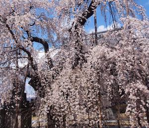 兎川寺の枝垂れ桜@松本