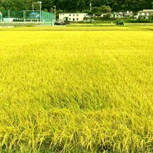 稲刈り直前の黄金色の田んぼ
