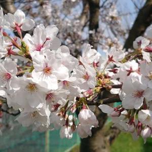 今年も桜の季節になりました