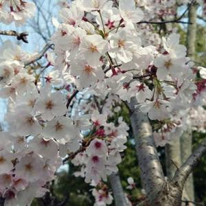 桜吹雪と本格的自粛生活
