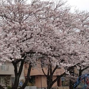 今年の桜をアップします