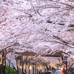 ブログでお花見&桜でおもてなし例