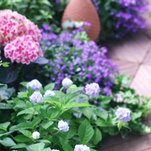 紫陽花が満開になったバルコニーです!