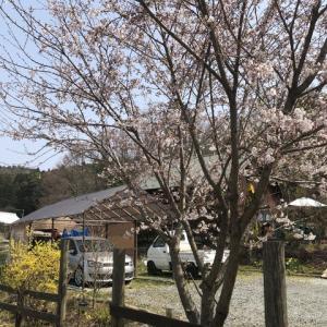 としおじさんのキャンプ場の桜は次の週末が満開