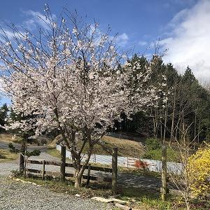 キャンプ場の桜は満開です