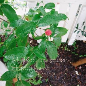 お庭の樹 2種