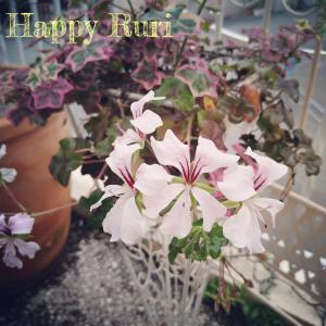 ピンクのふちどり flowers in my garden