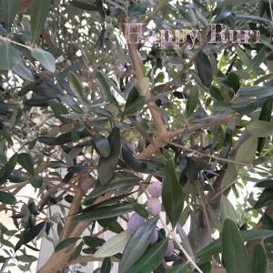 オリーブの木とキンモクセイ