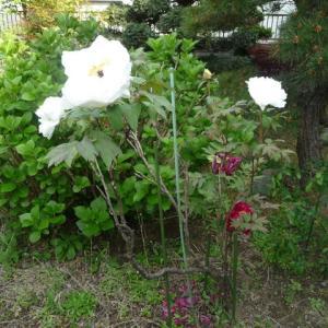 4月26日 大輪の白い花