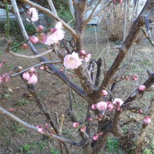 2月23日 紅梅開花