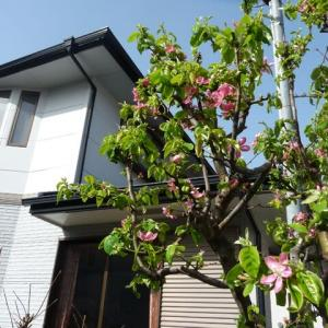 4月1日 花梨の花