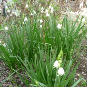 4月3日 スズランの花