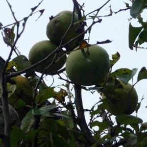 10月19日 花梨の実