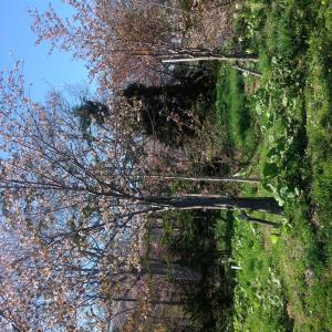 桜 Zakwitły wiśnie!