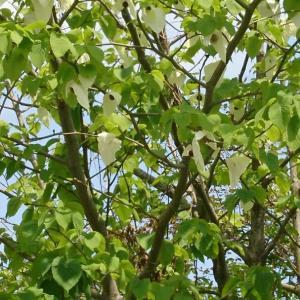 ハンカチの木 & ナンジャモンジャ