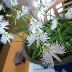 夏の白い花