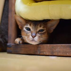 猫の舐めハゲ改善・レイキの効果