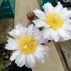 さぼてんのお花^^