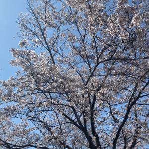 お花見第一弾…からの雪!!