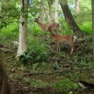 鹿がいたのです! ヤマジノホトトギス  (19-918)