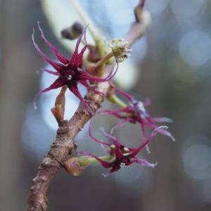 マルバノキの花 (19-1101)
