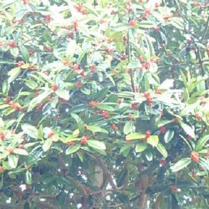 赤い実のなる木とブロッコリー畑 (20-0118)