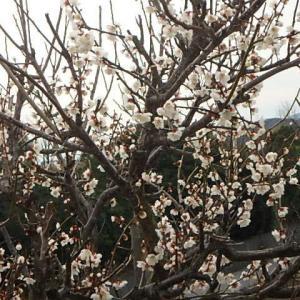 白梅咲き (20-0228)