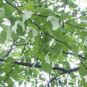 ハンカチノキ  (20-0530)
