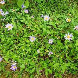 ミヤコワスレ・コナスビ・エゴノキの花  (20-0615)